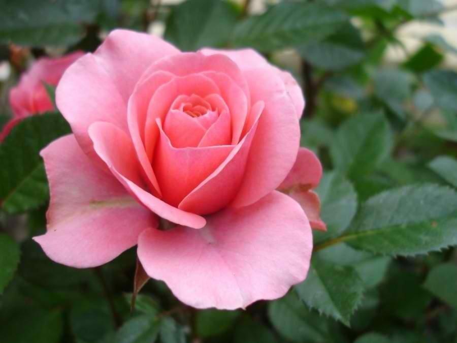 Българската маслодайна роза