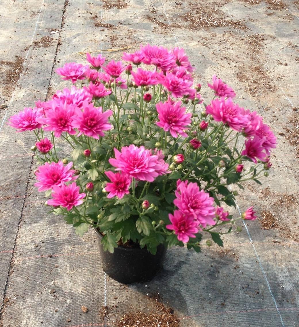 Цветен рай град Павликени - В името на цветята...